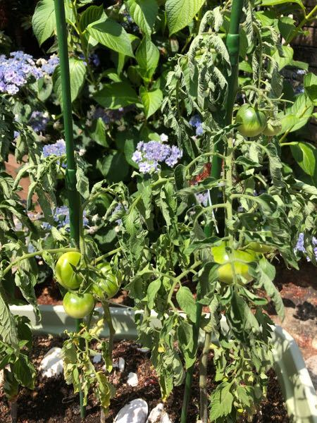 トマトを育てていますが葉が萎れてしまっています。 これは病気ですか? 治し方わかる方いらっしゃいましたら教えてください