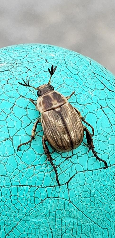 この虫の名前を教えてください。 関東の公園で見つけました。 1cmないぐらいだったと思います。