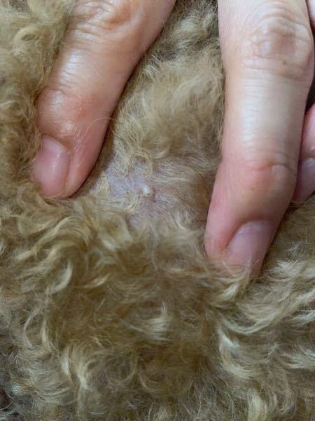 飼い犬のトイプードル7歳雄の身体にでき物?が出来ました。これは大丈夫でしょうか?