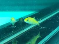 この魚はなんでしょうか? 300匹くらいで250円で、大型魚の餌としてベトナムで売られていたものの、生き残りです。 最初は赤かったのですが、一週間程で色が抜けてきて金色のようになりました。 (青みがかかっているように見えるのは水槽のせいです) 子赤?鯉子?ひげは無いように見えますが… 詳しい方、よろしくお願いします。