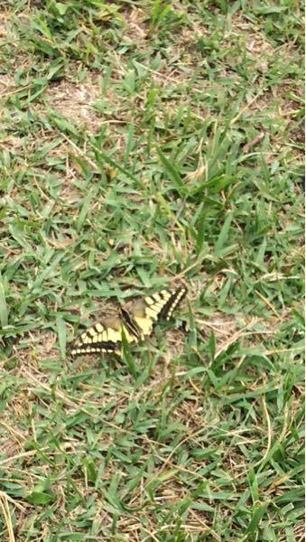 蝶々を山で見かけたのですが、いつもみる蝶は止まっている時翅を閉じていますが、この蝶は開いたまま止まっていて蛾ではなかったようにおもいます。詳しい方教えて下さい。