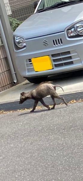 家の前を写真の動物が通ったので写真を撮ったのですが、 何の動物か分かりますか? 住宅街ですがすぐ裏は田圃で、以前タヌキを見た事があります。 写真の動物はタヌキですか?