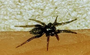 家の中にたまに居ます。1cm位です。 クモ、ダニ、? 刺したりしますか? 詳しい方教えて下さいm(_ _)m