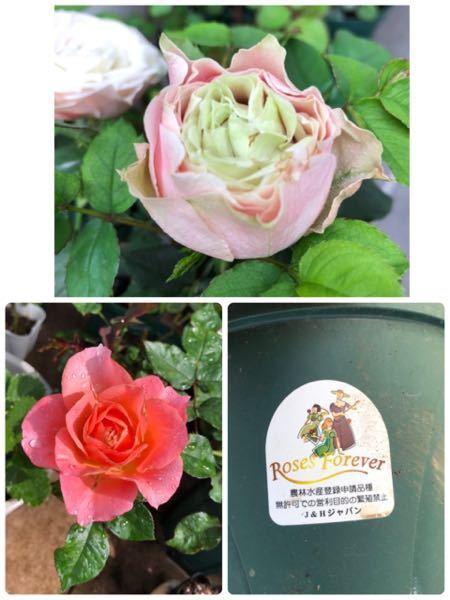 春に花屋に勤めている友人からミニバラと言って可愛いバラを頂きました。 RosesForeverとついたシールが貼ってありました。 ミニバラの割に花も葉も大きくそれでもミニバラらしく細い茎の株が5本植っていました。 花は淡いピンクで中芯になるにつれて淡い黄緑色でこんもりと丸くアンティークな感じのバラでした。 花後剪定し、小さな鉢だったのでそれぞれバラして5個の鉢に植え替えました。 1ヶ月後ぐんぐん大きくなり蕾を付けましたが、最初に咲いた花とは全く違う色と姿でした。 朱に近いサーモンピンクで特に色の変化は無く丸くもありませんでした。 植え替えた株もみんな同じように最初とは違うサーモンピンクが咲きました。 成長は早くミニバラとは思えない花姿です。 このバラは何てバラで最初に咲いていた色、姿にはもうならないのでしょうか? また最初に咲いていたバラと同じ物は無いのでしょうか?