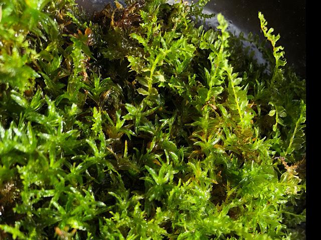 苔の名前を教えてください 少し長いのと2種類ありますが 苔の名前を教えてください
