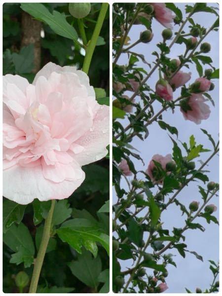 このお花の名前わかりますか?