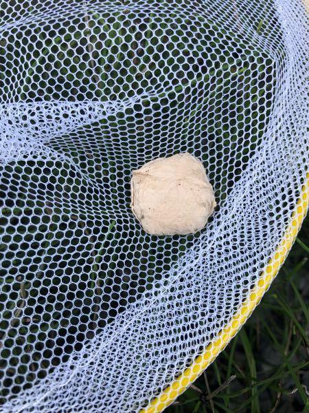 巣を作らずに家の中とか壁面にたまにいる大きな蜘蛛いるのですが、その蜘蛛が薄いマシュマロみたいな物を掴みながら移動していました。 網で捕まえたらマシュマロを離してその後、マシュマロを近づけましたが無視して逃げていきました。 このマシュマロみたいな奴は蜘蛛の卵ですか? なんか罪悪感を感じます。 蜘蛛さんに気の毒なことしちゃったかもって