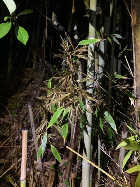質問です。竹生えていたのですが、これって竹の花ですか? 少し画像が分かりづらくてすみません。