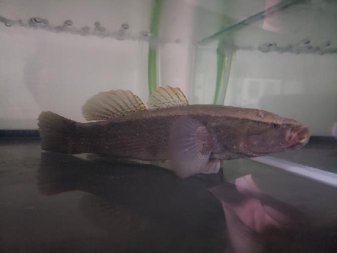多摩川で釣れた魚ですがなんでしょうか? ハゼにしてはでかいし腹ビレも吸盤じゃないしチチブでしょうか? ちなみにハゼやチチブでは自分は見たことない大きさです 20cm位ですが体長で言えば大したことないですが太い感じです 釣ったときの実物だと背鰭がオレンジっぽかったです