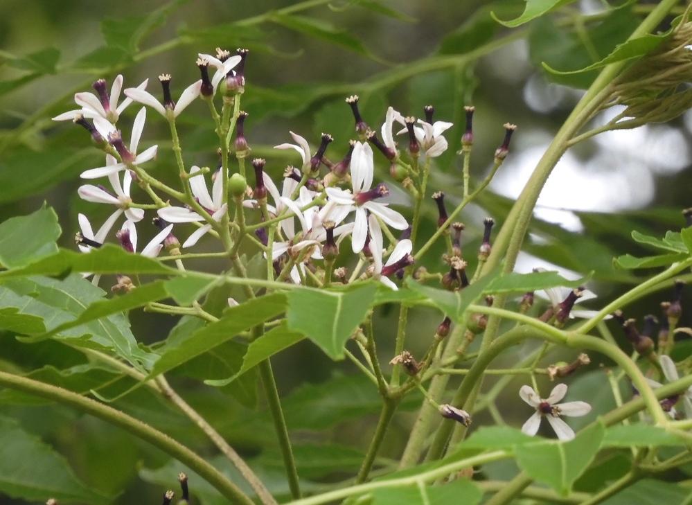 この木の花の名前を教えてください。よろしくお願いいたします。