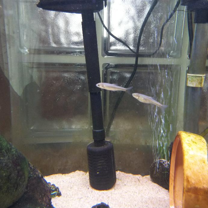 5月にとある神奈川県の川ですくってきた稚魚が2匹います。現在体長2~3㎝程度ですが、この2匹、見た目が少し異なるように思いますが、同じ種類でしょうか? 一匹は額が丸く流線形。体の真ん中の黒い線がやや濃いです。 もう一匹は口がやや細く、お腹が膨れています。体の黒い線は、もう一匹よりやや薄いです。 昨年、同様に川ですくってきた稚魚が育ったところアブラハヤだったので、この子達もアブラハヤだと思っていたのですが。 なお、現在の水槽の状況は120㎝水槽でアブラハヤ成魚2匹(1年前に川で稚魚をすくい大きくなりました)、ムギツク2匹、シマドジョウ2匹(川で捕りました)、ヒドジョウ2匹、タイリクバラタナゴを混泳させています。 もしカワムツの稚魚だった場合、カワムツは令低水温で管理が必要で、気も荒いとネットで見かけたので、混泳できるのか心配で、こちらで質問いたしました。 どなたか、詳しい方のご回答お待ちしております