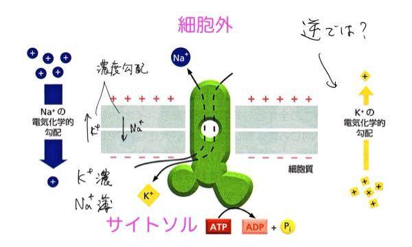 KNaATPアーゼについての質問です。essential細胞生物学の図解だと思うのですが、間違ってませんか?