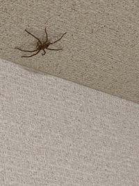 これってアシダカグモですか?天井に張り付いてます。