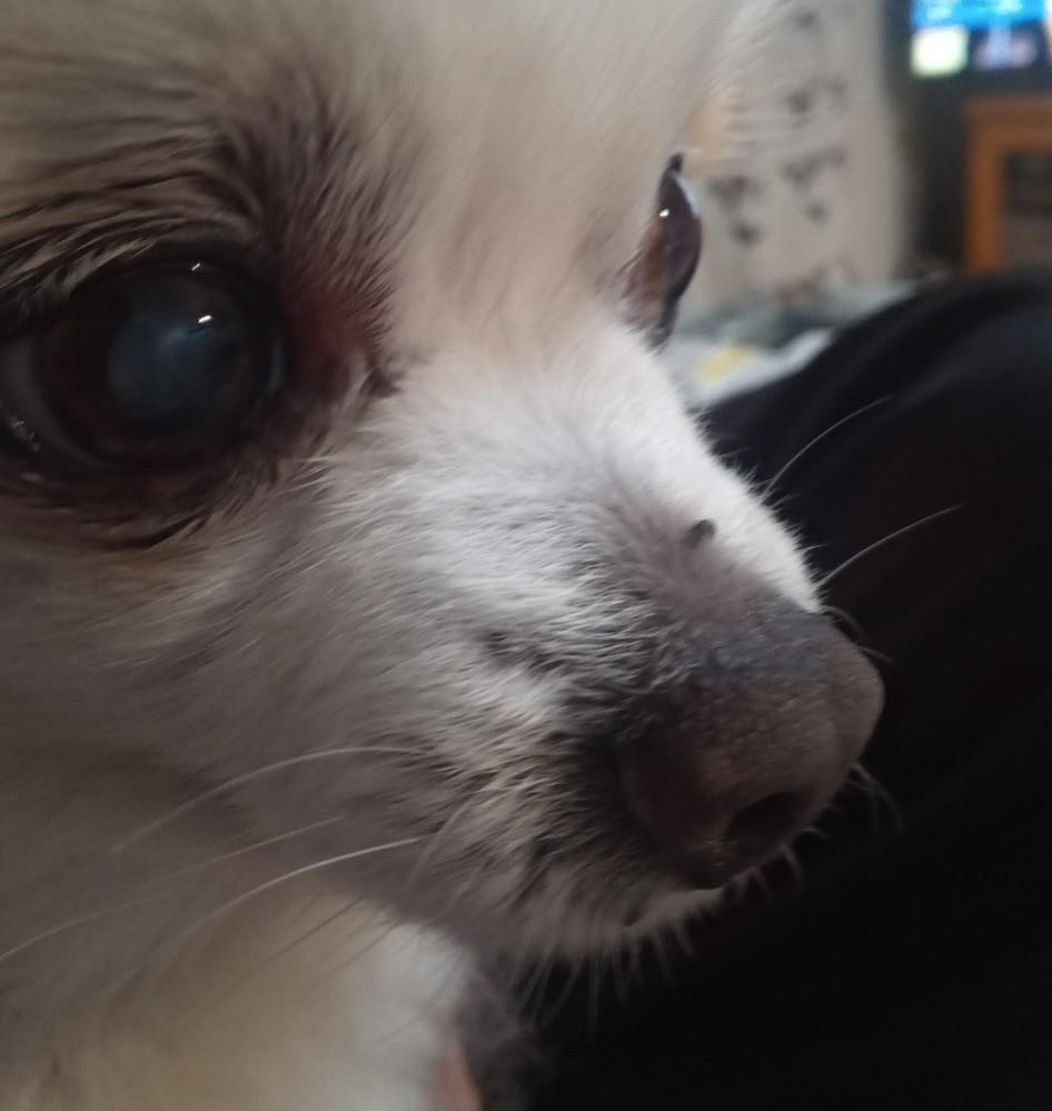 うちの犬に黒いできものがあって気になります。 これはなんでしょうか?(鼻の上と下) 調べた感じメラノーマかな?と思いましたがまだ小さいしわからないです..切除した方が良いものですか? 痛がらずにとれるでしょうか。 高齢のチワワです。