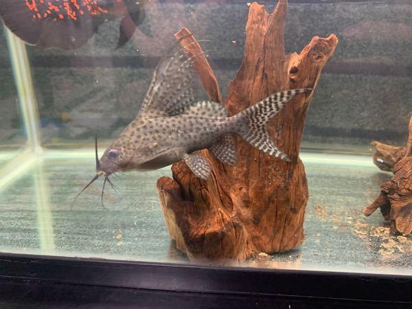 この写真の魚の名前を教えてくださると助かります! お願いします
