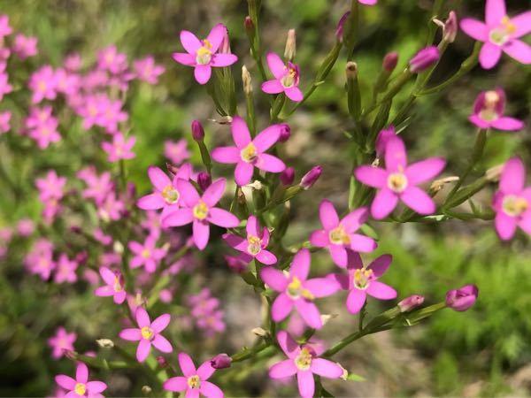 とっても可愛い小花の雑草です 今日大阪府貝塚市で撮りました。 名前はなんですか?教えてください。