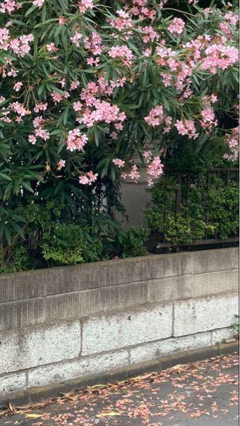 近所の家の夾竹桃が満開です。 夾竹桃は花も葉も全てに強い毒性があると聞きました。 枝は道路にはみ出し顔の高さにありますし散歩のわんちゃんは落ちた花の上を歩いています。 葉はかざしも5軒ほど遠くで落ち葉になっています。 剪定とかせめて掃除をして欲しいと思うのですが言う勇気がありません。 行政は指導とかしてくれるのでしょうか。解決策はありますか? この時期は気になって仕方ありません。