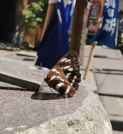 写真の蝶?蛾?の名前を教えて頂きたいです!