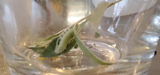 この芋虫?はなんと言う名前でしょうか? 切り花のロシアンオリーブにうんちが沢山ついていました。 目を凝らして見たところ芋虫が二匹ほどいました。 小さな芋虫がこんな沢山のうんちをするはずない、、とおもって見たのですが二匹しかいません。 名前を教えていただければ幸いです。