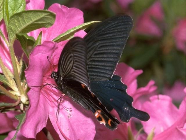 子供の頃、 クロアゲハの大きさと奇麗さに感動しました。 その頃の「奇麗」とは 色鮮やかなものと思っていましたが、 緑の葉に止まったクロアゲハの漆黒に 目を奪われたことを今でも覚えております。 日本にも沢山の蝶がいますが、 皆さんの蝶にまつわるエピソードを教えてください。 https://kids.yahoo.co.jp/zukan/animal/kind/insect/0086.html