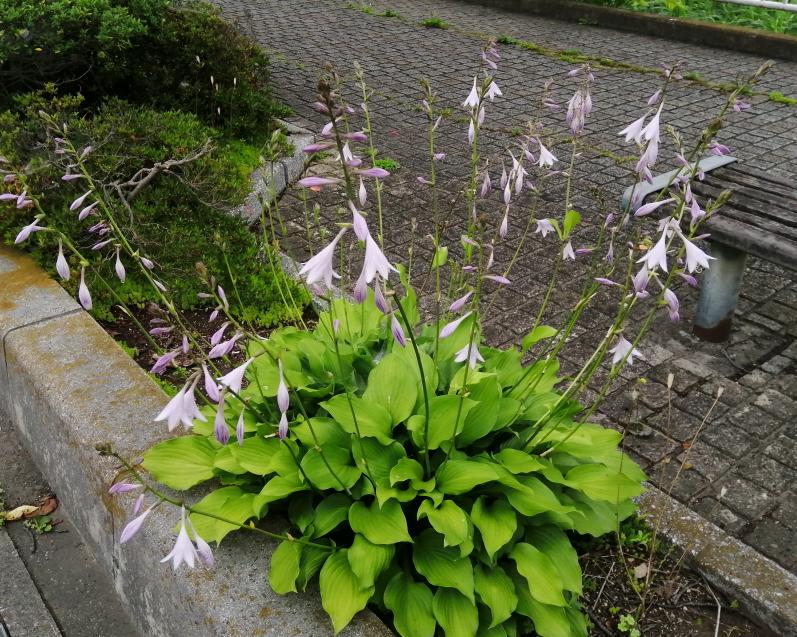 よく見る花なのですが、名前がわかりません。 ご存知の方がいらっしゃいましたらお教え下さい。