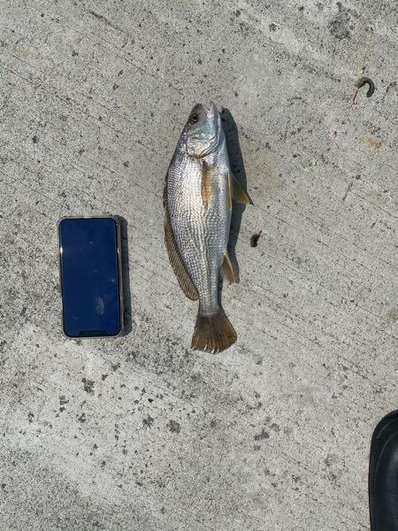 この魚の種類を教えてください。 宮城県閖上港で釣れました。