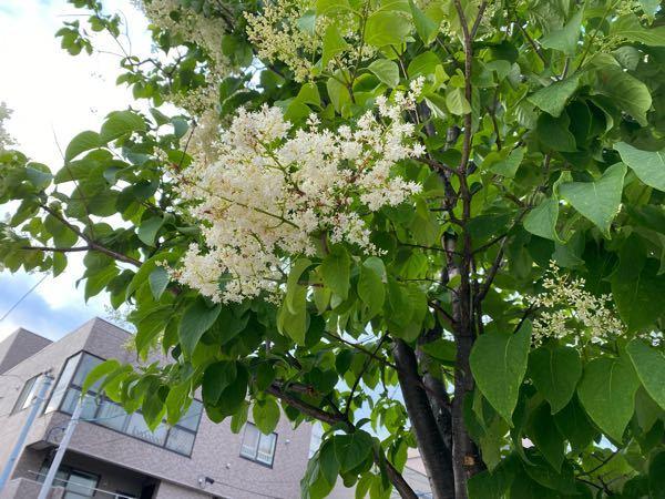 この植物がなにかわかる人いますか? 歩いてたらとても良い匂いがして気になりました! 街路樹です
