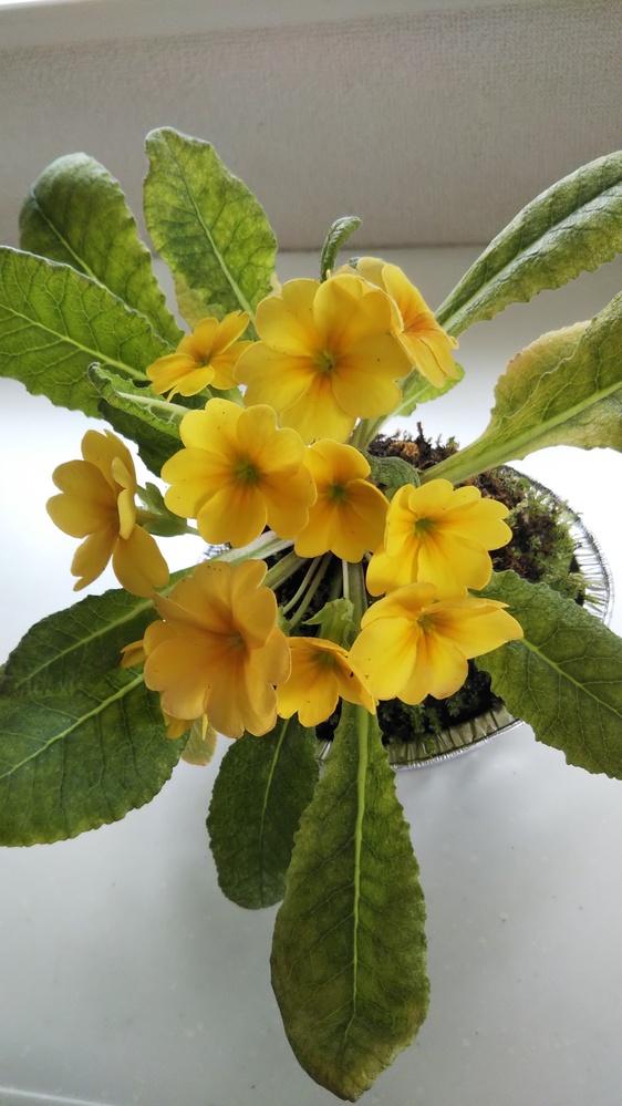 ジュリアンを2月にコケモモに植えた状態で頂きました、もう咲かないと思ったら5月に花芽を付け 今この状態で下にまだ蕾がありますが、 葉が大きくなり色が抜けてきました、このまま枯れて終わりでしょうか?