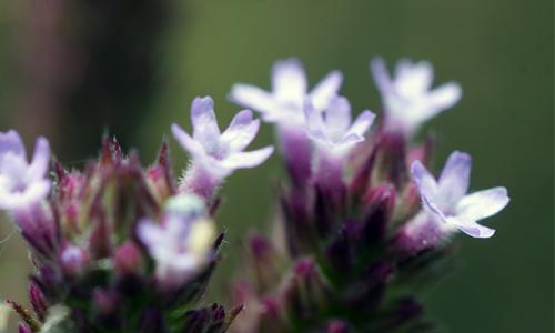 この植物は何でしょう 花は数ミリ程度です。関西地方の河原にありました