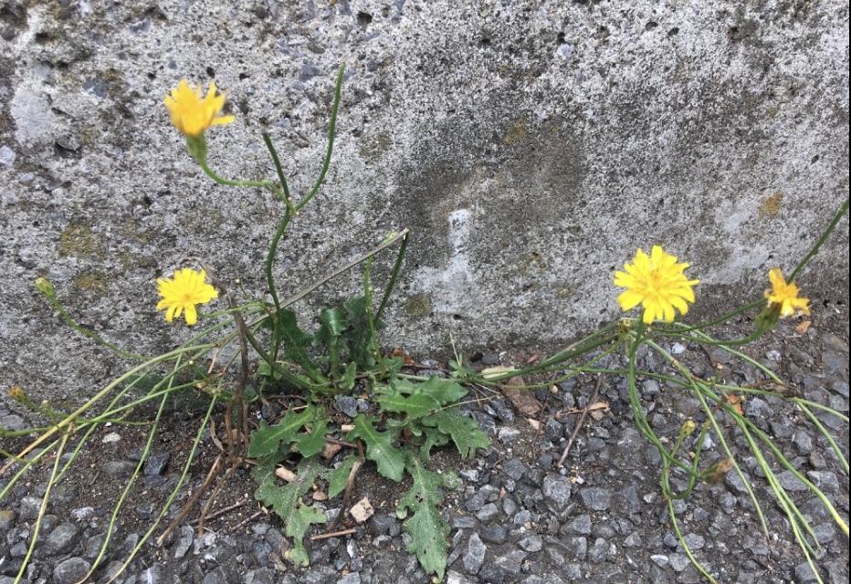 これは豚菜ですか? 出かけた先に咲いていたのですが、タンポポに似ているのに、茎が長く、花は小さめでした。 詳しい方、教えてください! よろしくお願いします!