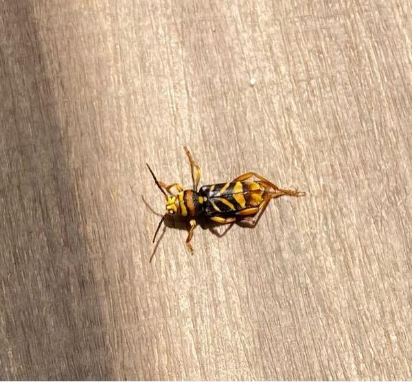 虫博士また助けて!! ベランダで植物育ててるののですがまた変なやつが来て困ってます。 これは葉っぱ食べますか? もしくは刺しますか?