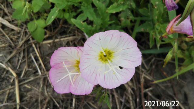 ヒルザキツキミソウがもう三年も同じ場所から発芽します、 宿根草ですか?
