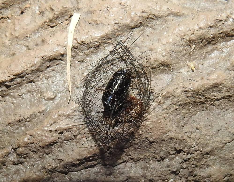 知人から、 「昆虫の卵のようだけど全くわからない。 とげとげの網状の巣の中に入ってる。 よかったらネットで尋ねて欲しい。」 ということで、一枚の写真が届きました。 巣の大きさは2、3cmといことでした。 昆虫などにお詳しい方がいらっしゃいましたらお教え下さいませ。 宜しくお願い申し上げます。
