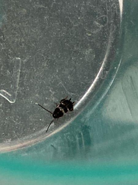 この虫の名前はなんですか? 蟻ぐらいの大きさでした!