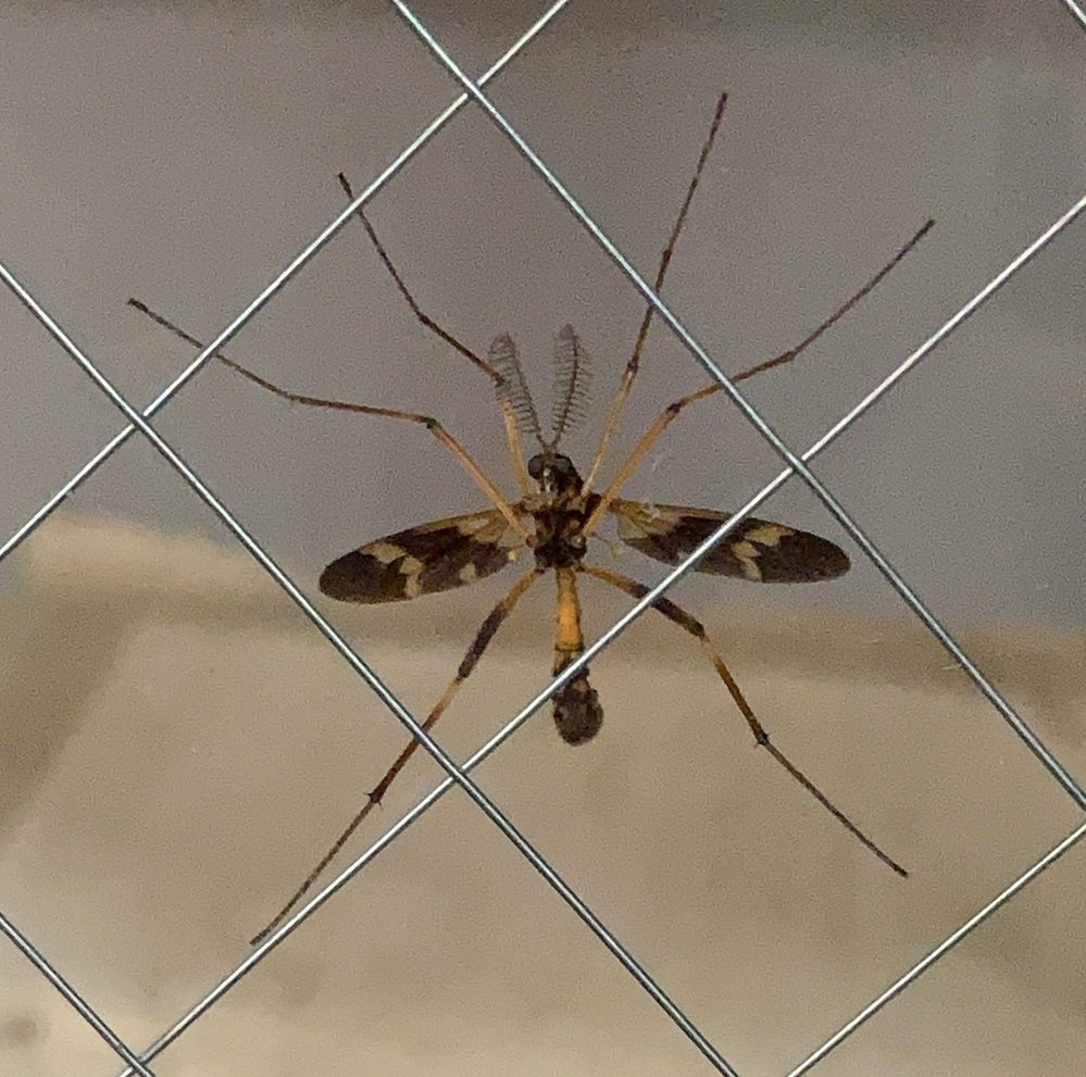 この虫は何でしょうか? 部屋の中から撮ってるので、虫の腹側が写っています。 触覚が蛾のようですが、蜂のように見えます。 危険ですか? ベランダにいます。