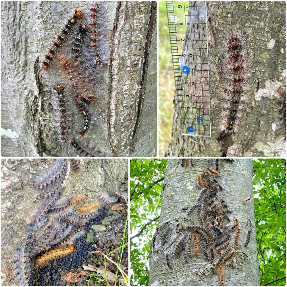 マイマイガの幼虫だと思うのですが、一本の木に集合していました。 何のためなのでしょう?