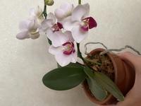 胡蝶蘭に詳しい方に教えて頂きたいです。 画像のミニ胡蝶蘭は何という種類(名前)でしょうか?  宜しくお願い致します。