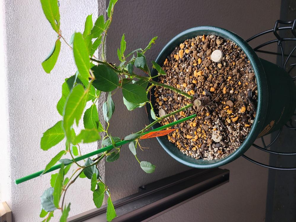 桃香の新苗を育てています。 購入後植え替えて二週間になります。 葉の縁がカサカサしているように見え、株の下の方の重なっている部分の葉が枯れかけているような気がします。 購入時から少し葉がちぎれている部分はありました。(購入時ほぼ選べず、一番綺麗なものがこちらでした。) どのように処置すればいいでしょうか? ベランダは南東向きでお昼過ぎまでしか日が当たらないです。