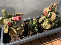 丸型の鉢植えのハイビスカスを買ってきて、植え替えた3日後、こうなってしまいました。 植え替えた後水をやり、その後毎日朝水をやっていたのですが、こうなりました。 何が原因でしょうか この様子で復活するものなのでしょうか