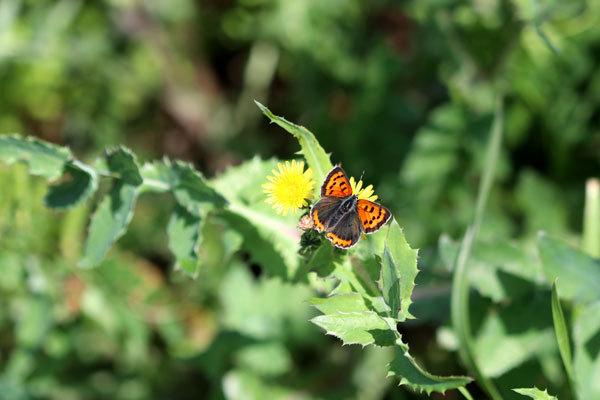 広島から二つ目の投稿です。蝶はベニシジミだと分かりました。蜜を吸いに来た植物の名前が分かりません