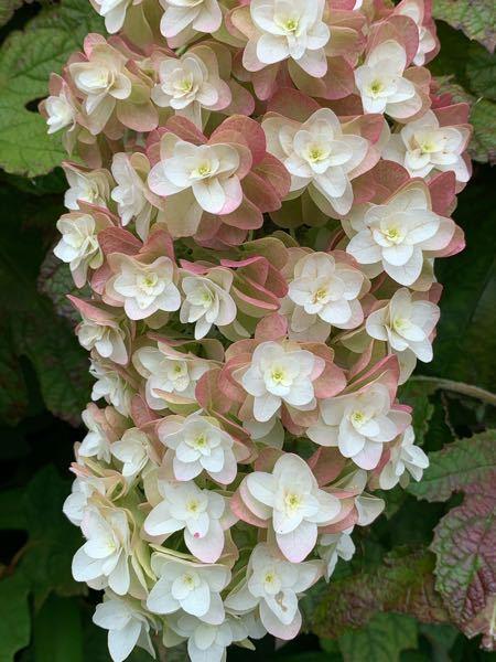 以前見た時は真っ白たった紫陽花でしたが枯れてきたと言うよりは色が変わってきた感じです。 色が変わって行く紫陽花ってあるんですか?名前は何でしょう?