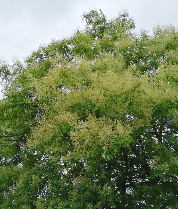 高さ数メートルの樹に花が満開となっています。 何と言う樹かご存知の方がいらっしゃいましたらお教え下さい。