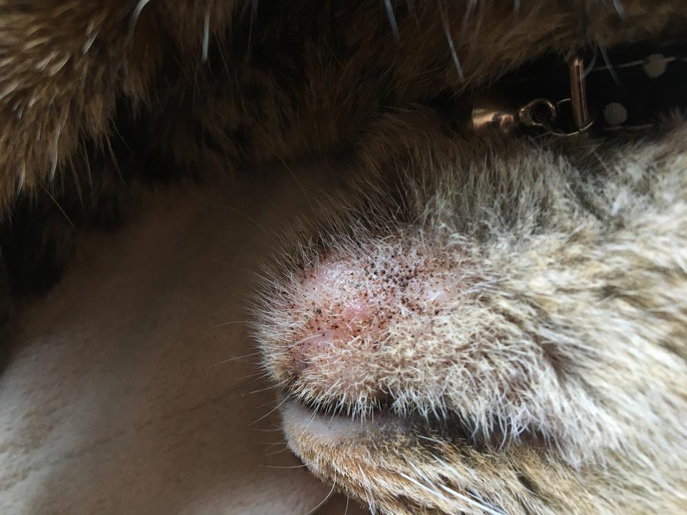 外に出ない完全な家猫で6歳ぐらいの女の子の猫です。3日前ぐらいから顎のニキビ?のような炎症が目立つようになったのですがこれは重症ですか? どなたか詳しい方教えてください。 お願いします。