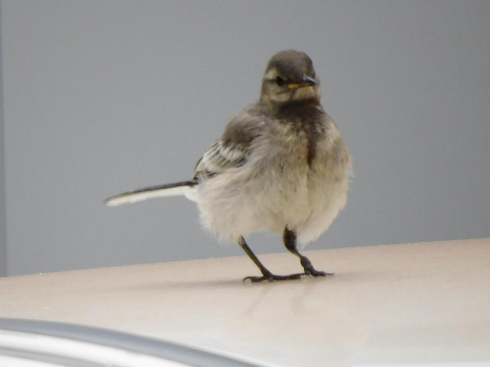 この子は何と言う名前の鳥ですか?まだ子供のように思うのですが。