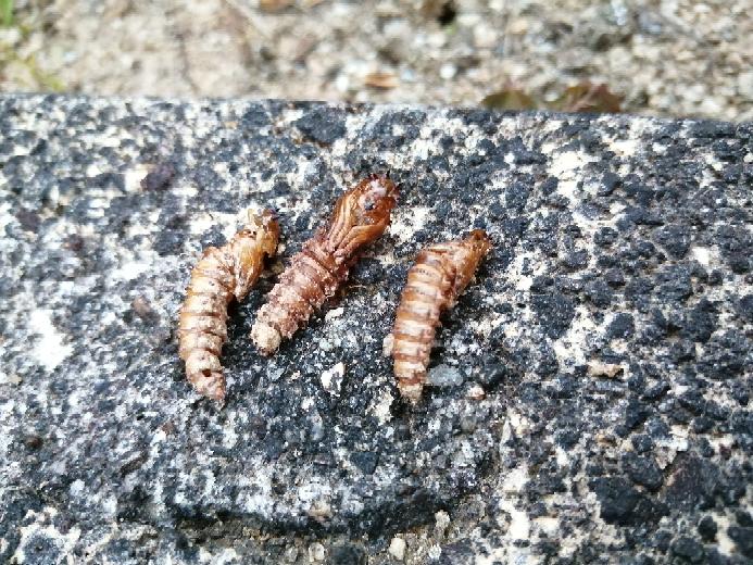 これは何の蛹ですか?