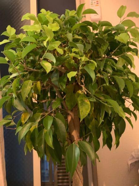 観葉植物が、弱々しい。原因は何ですか? 購入した、際はもっと密度が高く生き生きとしてました。 丸いフォルムでした。色も濃い緑色でした。 購入した後の環境ですが、室内置きで、窓辺に置いています。 水やりは土が乾いたらたっぷりあげてます。 (4日に一回程度) それと、お恥ずかしながら、この植物の名前も知らないです。ご教示ください...