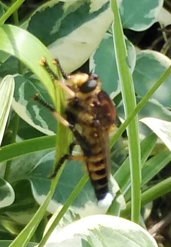 写真が下手で済みません。この虫は何でしょう? ずっと葉っぱにとまっていて30分ほどたっても動きません。 体に比べて羽がまだ小さそうなので子供かと思いますが、ハチかトンボの種類でしょうか? 近くを探しましたがこの1匹しか見当たりません。