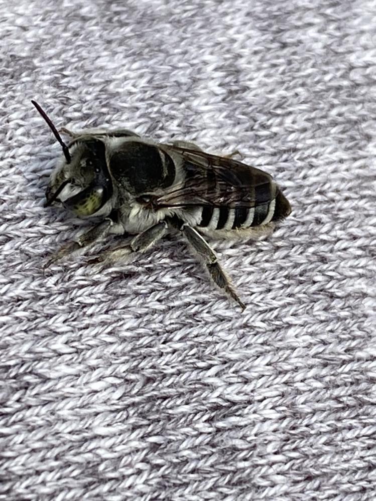 この虫の名前を教えて下さい!! 昨日、草むしりをしていたら地中から沢山、写真の虫(蜂?)が飛び出してきました。 地中には葉っぱを巻いた跡の様な物が沢山出てきました。