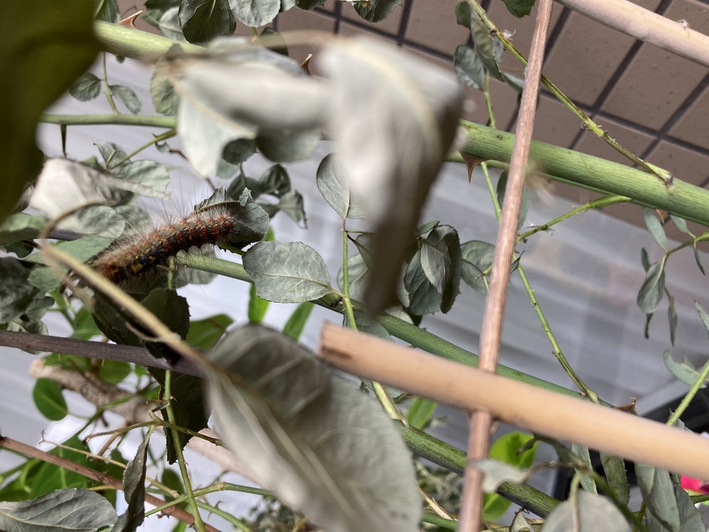 この毛虫、なんの蝶になるかわかる方いますか?夫が育てています。