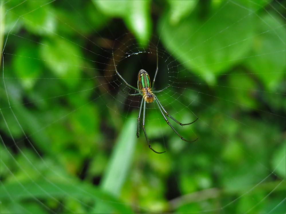何というクモでしょうか。緑色の筋が2本目立ちます。